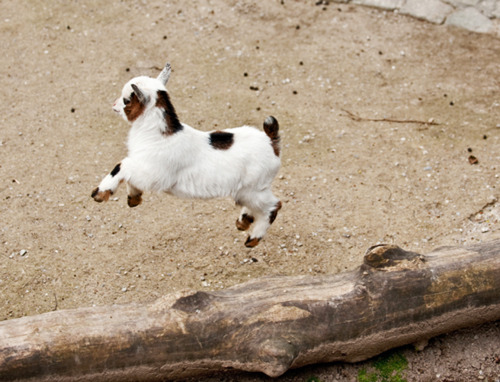 This is not a picture of Varenka. This is a baby goat jumping over a log. Don't worry about it.